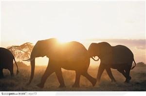 象之世界-夕阳时行走的大象
