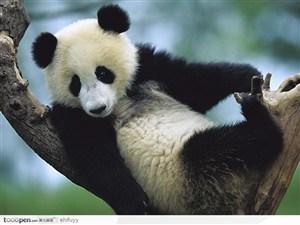 在树上的大熊猫