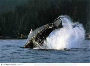 海中生物-飞跃时溅起水花的鲸鱼