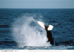 海中生物-溅起漂亮水花的鲸鱼