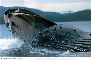 海中生物-庞大的鲸鱼