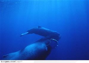 海中生物-两只游玩的小鲸鱼
