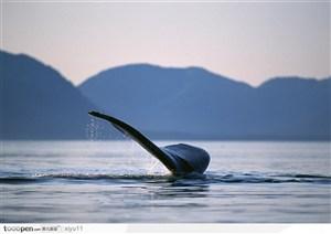 海中生物-平静海面上面的鲸鱼尾巴