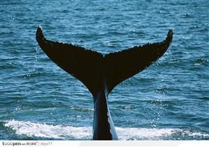海中生物-翘起的鲸鱼尾巴