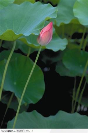一朵倾斜的荷花鲜花图片