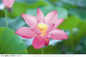 盛开的粉色荷花鲜花图片