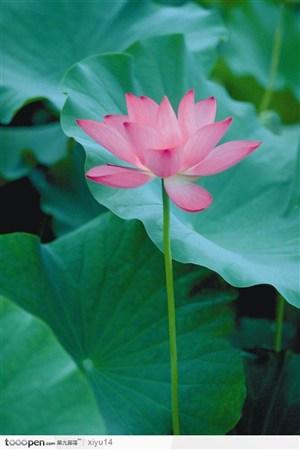 一朵亭亭玉立的荷花鲜花图片