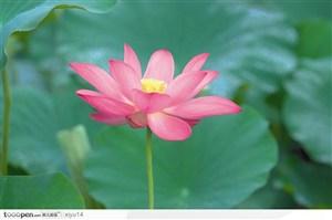 一朵盛开的粉色荷花鲜花图片