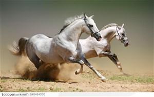 奔腾的白色骏马侧面特写