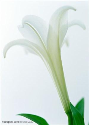 花卉物语-漂亮的白色百合花