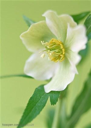 花卉物语-漂亮的百合花正面