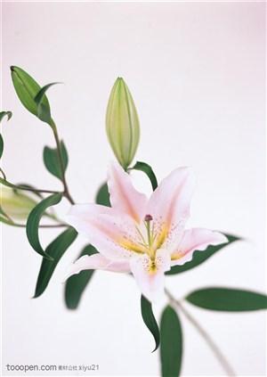 花卉物语-粉色的百合花
