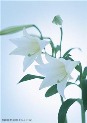 花卉物语-两朵洁白的百合花