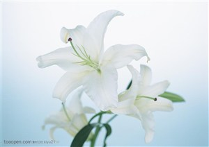 花卉物语-盛开的白色百合花
