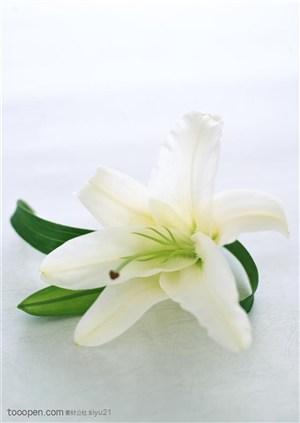 花卉物语-一朵漂亮的百合花