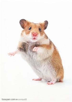 可爱宠物-站立的棕色小老鼠