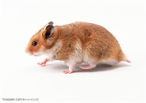 可爱宠物-棕色的小老鼠