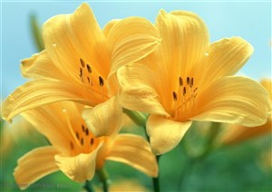 花卉物语-黄色的百合花
