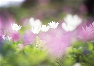 纯甜野花-白色的百合花