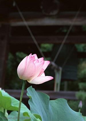 荷塘里一朵粉红色的荷花图片