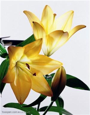 花卉特写-黄色的百合花