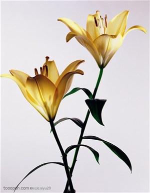 花卉特写-两只金黄的百合花