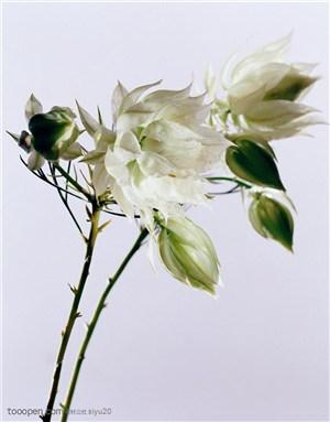 花卉特写-盛开的白色百合花