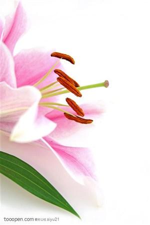 花卉物语-粉色的百合花特写