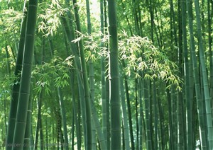 竹林自然风景- 一片嫩绿的竹林
