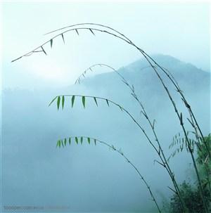 竹林风景- 竹子嫩枝特写