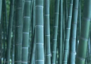 竹林风景- 竹林中的竹竿特写