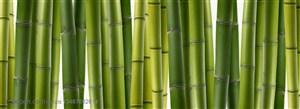 竹林风景- 整齐的一排竹竿特写