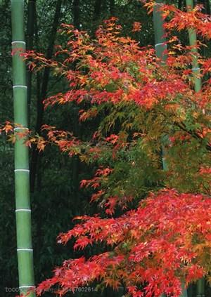 竹林风景- 竹竿边的枫树特写