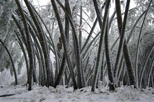竹林风景-被大雪压弯的竹林