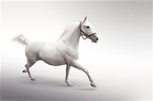 灰色背景中奔跑中的白色骏马